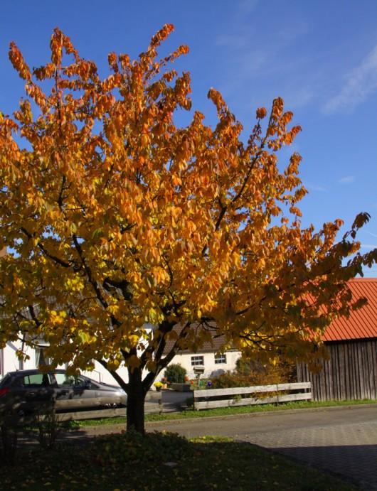 Unser Kirschbaum vor dem Haus.