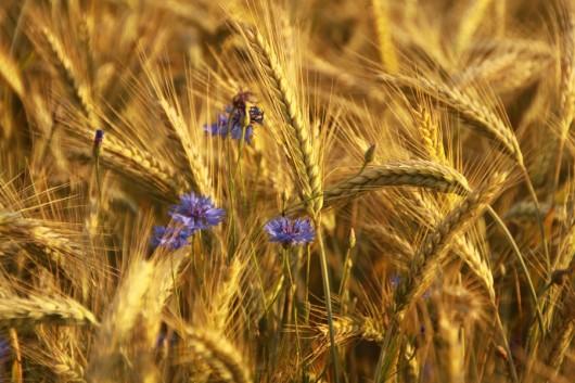 Die Kornblumen sorgen in der Nahaufnahme für ordentlich Kontrast.