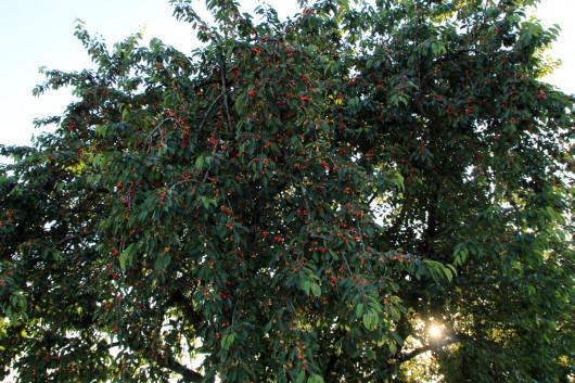 Zusätzlich zu den Weinreben gibt es auch noch Kirschplantagen.