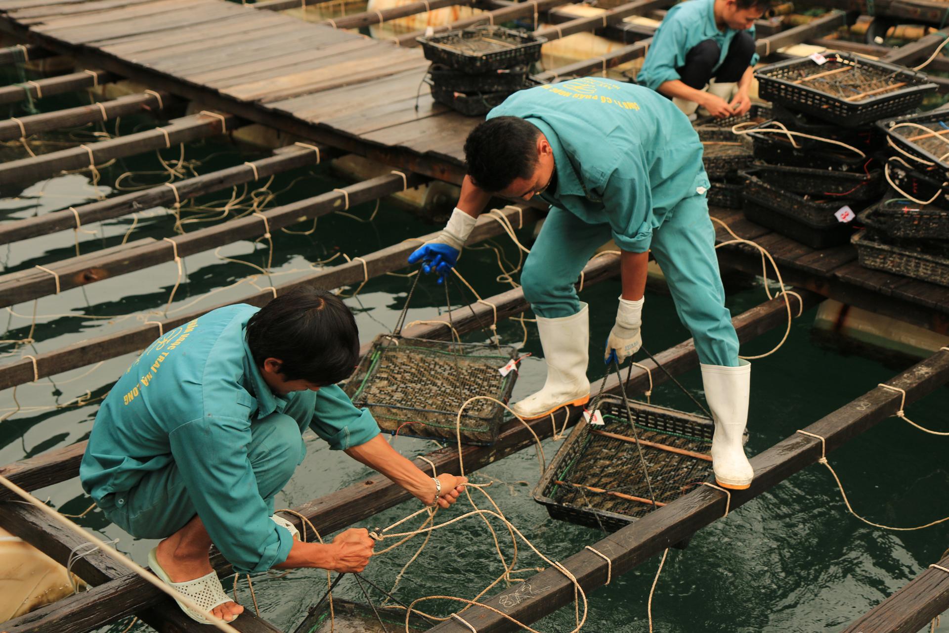 Hier werden die Muscheln in speziellen Käfigen präpariert.