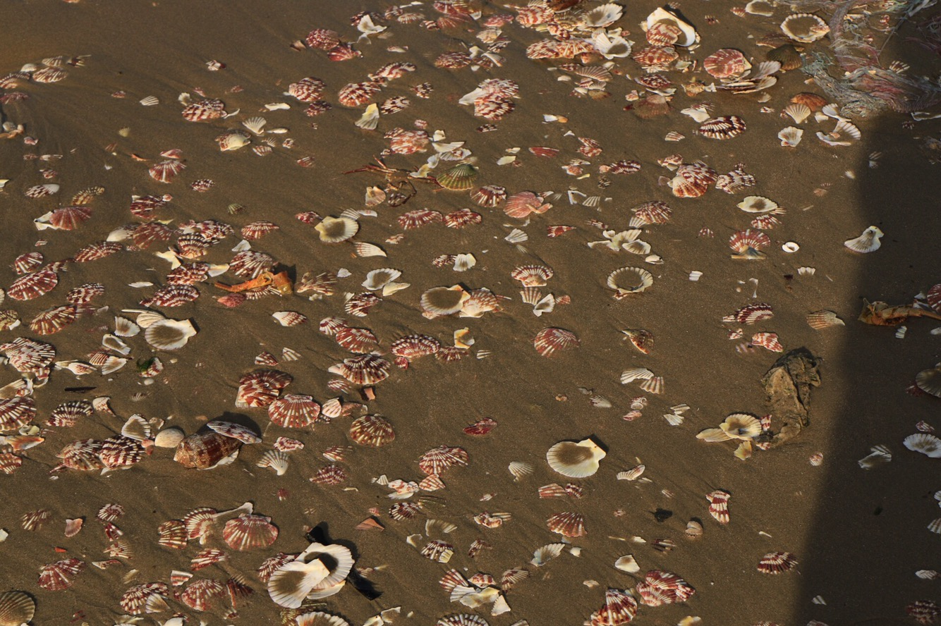 Der Strand war hier gesäumt von geöffneten Muscheln in den schönsten Farben.