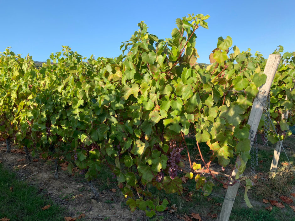 Und noch ein Foto von Ende September. Alle Weinreben hatten noch grüne Blätter und der Eiswein hing noch.