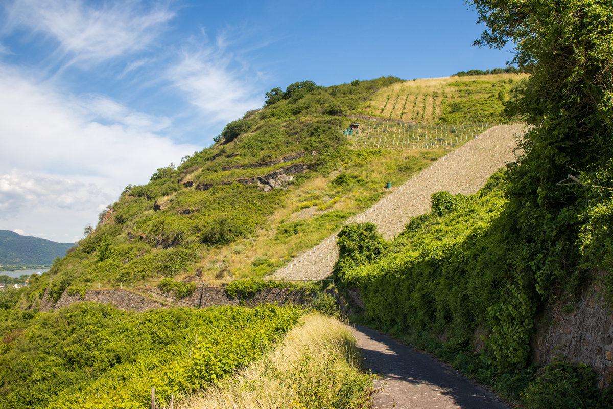 Diesen steilen Weinberg galt es über Serpentinen zu erklimmen.