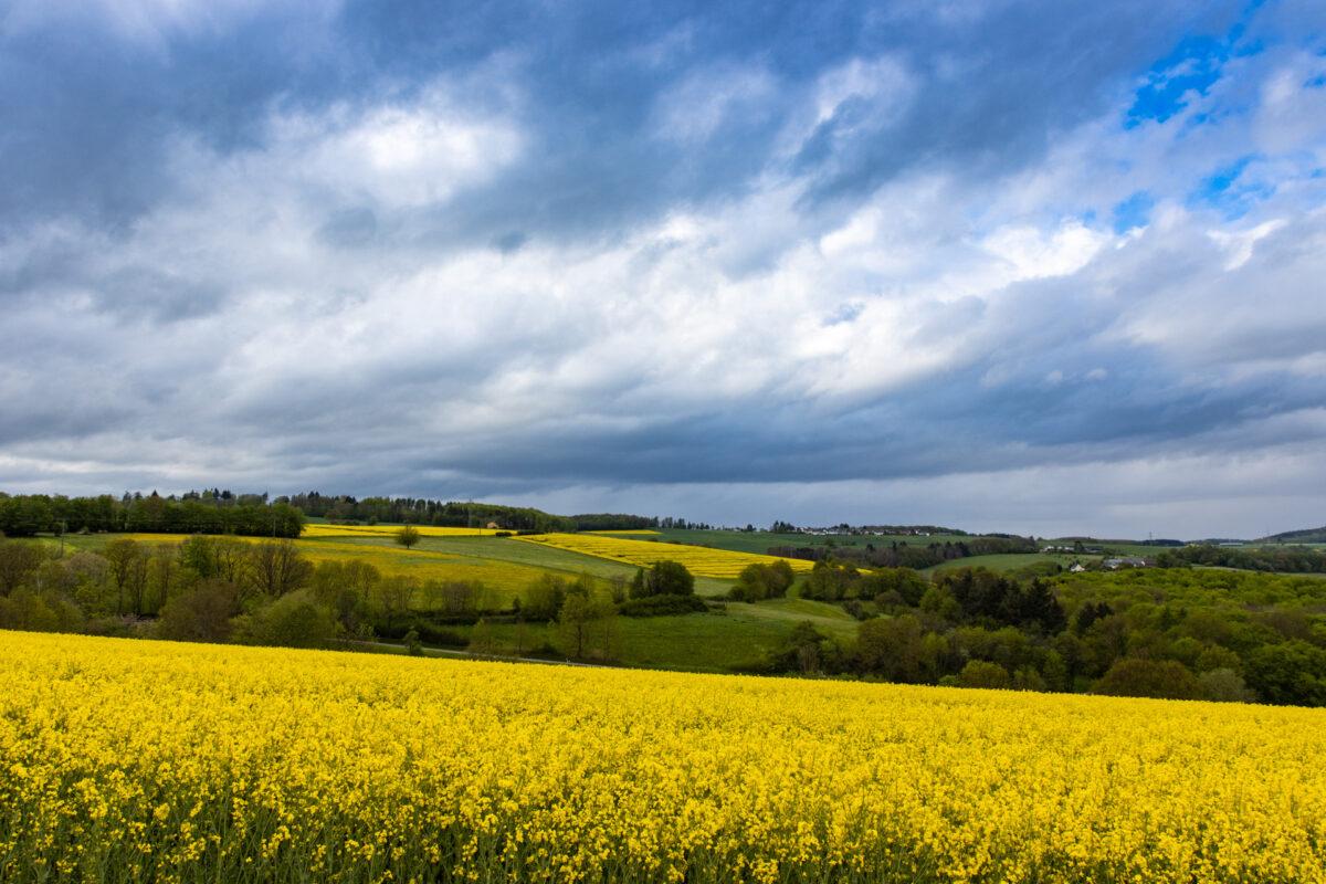 Blühende Rapsfelder als Kontrast zum eher wolkenverhangenen Himmel.